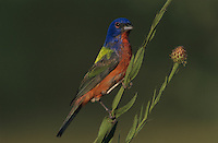 Painted Bunting, Passerina ciris, male on huisache tree, Starr County, Rio Grande Valley, Texas, USA