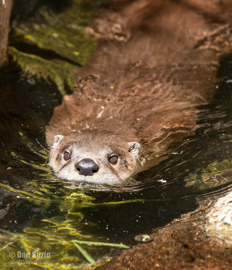 River Otter, Lutra canadensis, swims in a pond at the Arizona-Sonora Desert Museum, near Tucson, Arizona. (Captive)