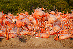 American Flamingo (Phoenicopterus ruber) nesting colony. Yucatan, Mexico.. Yucatan, Mexico.. Yucatan, Mexico.