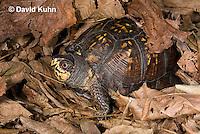 1003-0808  Male Eastern Box Turtle Under Leaves - Terrapene carolina © David Kuhn/Dwight Kuhn Photography.