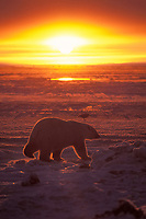 polar bear, Ursus maritimus, at sunrise on the pack ice of the frozen coastal plain, 1002 area of the Arctic National Wildlife Refuge, Alaska, polar bear, Ursus maritimus