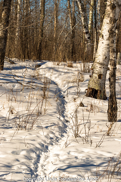 Well-traveled animal trail in northern Wisconsin