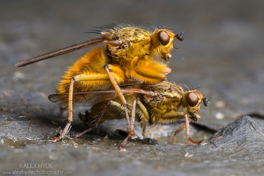 Yellow Dungflies {Scathophaga stercoraria} mating on cow dung. Peak District National Park, Derbyshire, UK. April.
