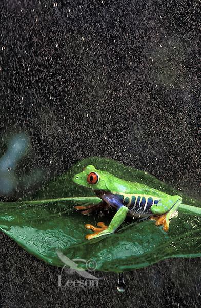 RED-EYED TREE FROG/Red-Eyed Leaf Frog in rain shower..Central America. Captive..Agalychnis callidryas.