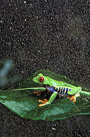 RED-EYED TREE FROG/Red-Eyed Leaf Frog in rain shower..Central America. Captive..Agalychnis callidryas.