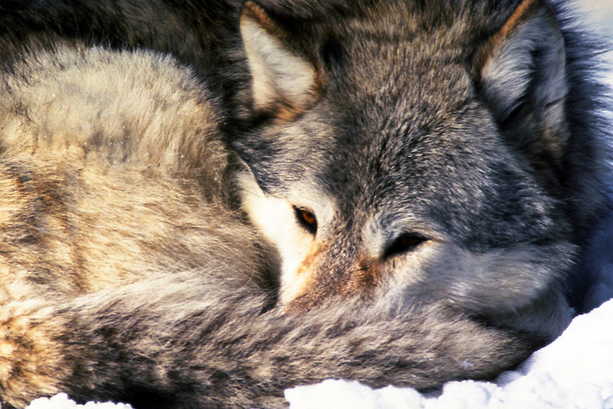 Grey Wolf (captive) Yellowstone National Park, Wyoming. Montana.