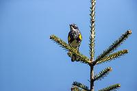 Yellow-rumped Warbler (Setophaga coronata coronata), Myrtle subspecies, male in breeding plumage foraging on its breeding territory near the peak of Slide Mountain, Shandaken, Ulster County, New York.