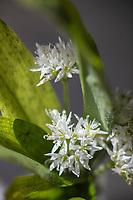 Gastronomie Générale /Diététique / Ail des ours -  // General Gastronomy / Dietetics :  Allium ursinum