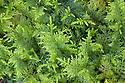 Common Tamarisk-moss {Thuidium tamariscinum} Lake District National Park, Cumbria, UK. February.