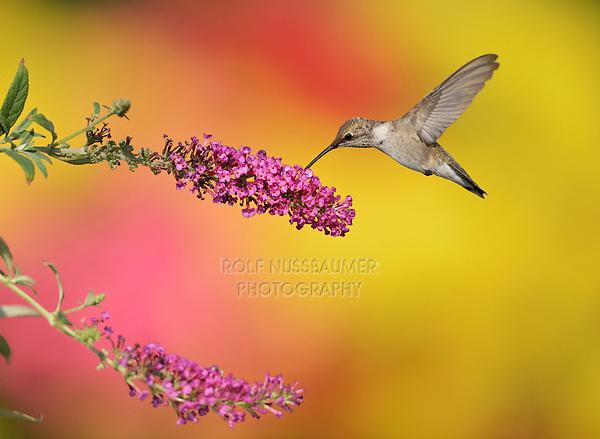 Ruby-throated Hummingbird (Archilochus colubris), female feeding on Butterfly Bush (Buddleja sp.), Hill Country, Central Texas, USA