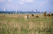 Nairobi, Kenya. Eland grazing overgrazed National Park land on the outskirts of the city.