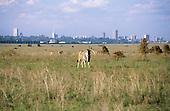 Nairobi, Kenya. Eland grazing overgrazed National Park land on the outskirts of the city.