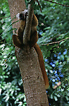 Black Lemur (female) sitting in tree.