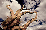 Bristlecone pine tree root in California's Sierras