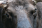 Moose bull close-up of eyes.