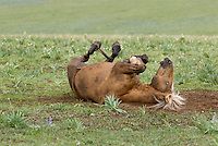 Wild Horse or feral horse (Equus ferus caballus) rolling in dirt.  Western U.S., summer.  Dirt bathing or wallowing is often used to keep biting or pestering insects at bay.