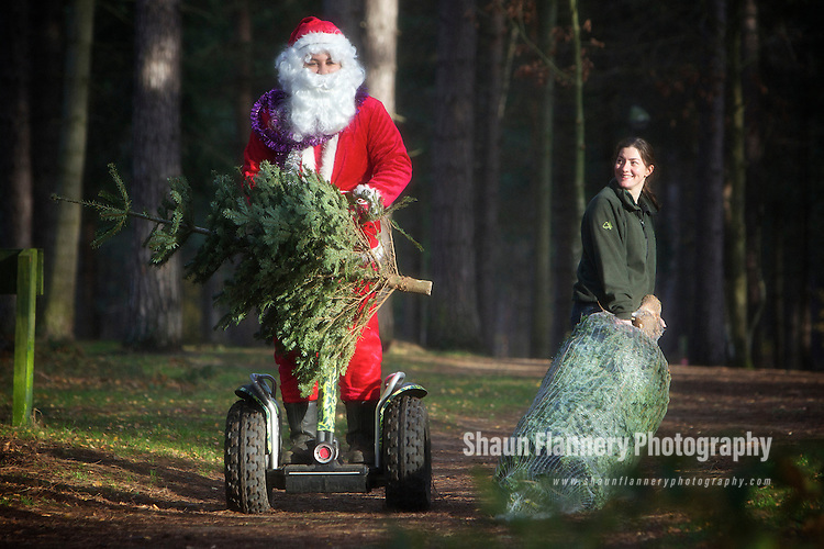 Pix: Shaun Flannery/shaunflanneryphotography.com...COPYRIGHT PICTURE>>SHAUN FLANNERY>01302-570814>>07778315553>>..1st December 2011…………….Father Christmas leaves his reindeers in Lapland and takes a Segway to deliver Christmas trees at Sherwood Pines Forest Park.