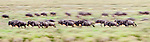 Herd of White-bearded Wildebeest (Connochaetes taurinus albojubatus) with calves, running during the annual Serengeti-Masai Mara migration. Near Ndutu, Ngorongoro Conservation Area, Serengeti Ecosystem, Tanzania. (digitally stitched image)