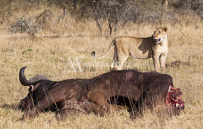 On our final day at MalaMala, our flight out was nearly delayed because lions had killed a buffalo near the runway.