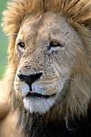 Portrait of a Lion (Panthera leo). Serengeti National Park - Tanzania