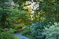 Hydrangea serrata 'Blue Billow' on right with Acer cissifolium leaning over woodland path on the left in Elisabeth Miller Botanical Garden