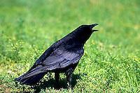 BL04-001z  Crow - cawing - Corvus brachyrhynchos