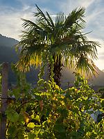 Palmengarten von Gasthaus Gstör, Algund bei Meran, Region Südtirol-Bozen, Italien, Europa<br /> palm-tree garden of  Restaurant Gstör, Lagundo near Merano, Region South Tyrol-Bolzano, Italy, Europe