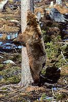 Bruine beer (Ursus arctos), markerend tegen stam