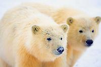 polar bear, Ursus maritimus, cubs play, 1002 coastal plain of the Arctic National Wildlife Refuge, Alaska, polar bear, Ursus maritimus