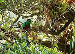 Resplendant quetzal, Chiriqui Province, Panama