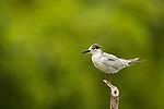 Whiskered Tern (Chlidonias hybrida) in basic plumage, Diyasaru Park, Colombo, Sri Lanka