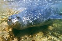 weddell seal, Leptonychotes weddellii seal, Antarctica