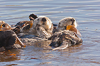 Sea otters (Enhydra lutris) wrapped in kelp so they can rest, San Luis Obispo County, CA