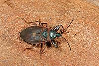 Kiefernzapfenwanze, Kiefernzapfen-Wanze, Gastrodes grossipes, Gastrodes ferrugineus, Pine Cone Bug, Bodenwanzen, Langwanzen, Lygaeidae, milkweed bugs, seed bugs