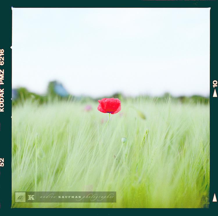 A poppy flower near the border with Poland in the Czech countryside, Czech Republic.