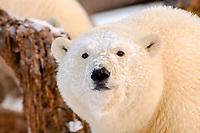 polar bear, Ursus maritimus, next to a bowhead whale, Balaena mysticetus, carcass, 1002 area of the Arctic National Wildlife Refuge, Alaska, polar bear, Ursus maritimus