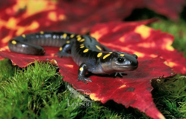 Yellow-spotted Salamander on maple leaf.<br /> Nova Scotia, Canada.<br /> Ambystoma maculatum.