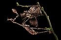 Violin Mantis female {Gongylus gongylodes} showing excellent camouflage amongst dead leaves. Captive. Distribution: India & Sri Lanka. website