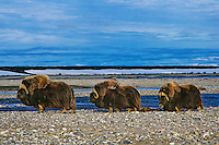 Three muskox bulls walk along river in the Alaskan arctic.  Summer.