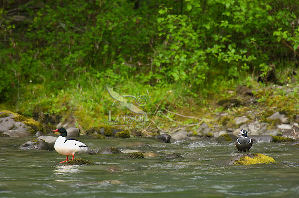 Harlequin duck (Histrionicus histrionicus) male and a common merganser (Mergus  merganser) male along edge of Elwha River, Olympic National Park, Wa.  Spring.
