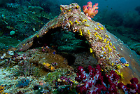 Yellow sea cucumbers, Colochirus Robustus, dense aggregation of yellow sea cucumbers on a broken piece of coral, very small for sea cucumbers, length to 60mm, Raja Ampat, West papua, Indonesia