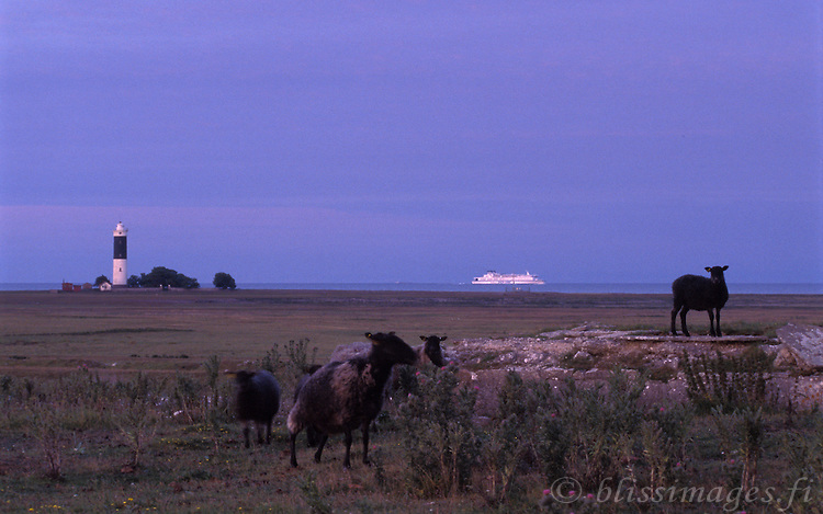 Surprised sheep with Silja Finnjet passing Östergarn Lighthouse, Gotland, Sweden.