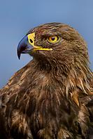 521099004 portrait of a wildlife rescue female golden eagle aquila chrysaetos a federally threatened species - thona