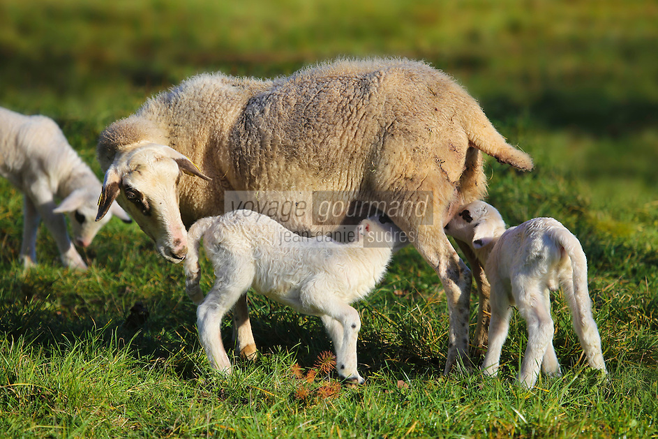 Europe/Europe/France/Midi-Pyrénées/46/Lot/Env de Livernon/Bélinac: Parc Naturel Régional des Causses et du Quercy - Brebis et Agneaux - Agneau fermier du Quercy,  // rance, Lot, around Livernon / Belinac, Regional Natural Park of Causses of Quercy, Ewes and Lambs, farmer Quercy lamb