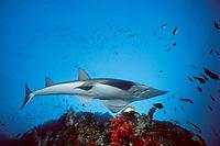 white-spotted shovelnose ray or guitarfish, Rhynchobatus djiddensis, Thailand, Andaman Sea (Indian Ocean)