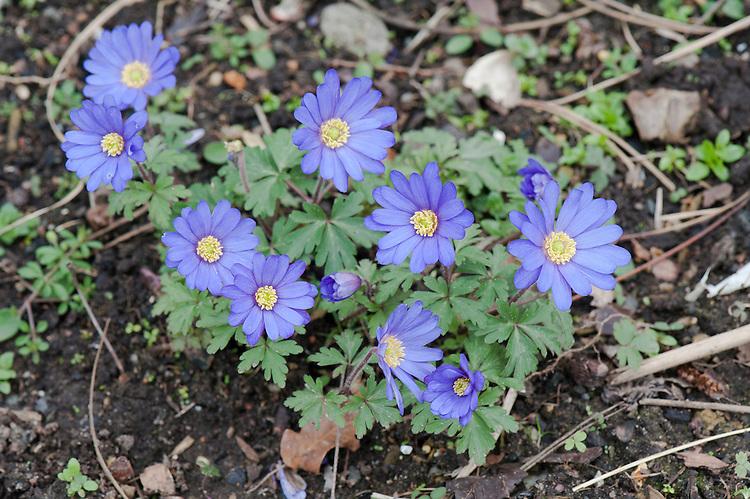 Blue form of Anemone blanda, mid March.