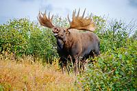 moose, Alces alces, bull calling in Denali National Park, interior, Alaska, USA