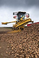 3/12/2020 Haulage contractor loading sugar beet into lorries with a Maus <br /> ©Tim Scrivener Photographer 07850 303986<br />      ....Covering Agriculture In The UK....