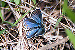 karner blue butterfly female sitting on grass in pine barren side view, concord, new hampshire