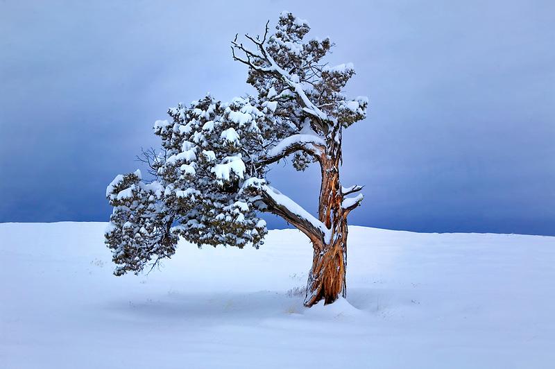 Juniper with fresh snow. Near Burns, Oregon